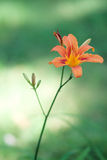 Tiger Lily. On the background of green Royalty Free Stock Image