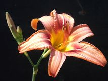 Tiger Lily Bloom et bourgeon image stock