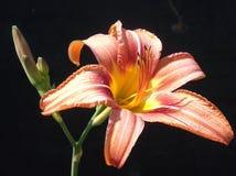 Tiger Lily Bloom y brote imagen de archivo