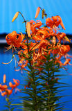 Tiger lily on blue background Royalty Free Stock Photos
