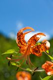 Tiger Lily and a blue sky Stock Photos