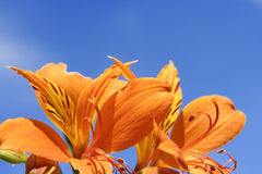 Tiger Lily and blue sky. Close up of bright orange Tiger Lilies with deep blue sky Stock Photography