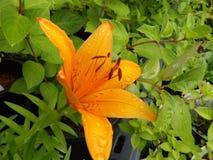 Tiger Lily-Blume mit dem Morgentau auf ihm Stockfotos