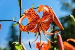 Tiger Lily-Blumennahaufnahme Lizenzfreies Stockfoto