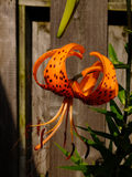 Tiger Lily. Brilliant orange and black Tiger Lily in full bloom stock images
