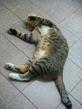 The tiger lily cat sleep. In thailand Stock Photos