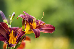 Tiger lily close up Royalty Free Stock Image