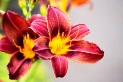 Tiger lily close up Royalty Free Stock Images