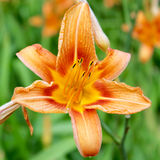 Tiger Lily. A Closeup of a Tiger Lilies Stock Photography