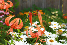 Tiger Lily and Daisies Royalty Free Stock Photos