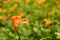 Tiger lily Royalty Free Stock Photos