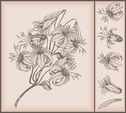Tiger lily drawing Royalty Free Stock Photo