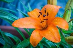 Tiger Lily Stock Photos