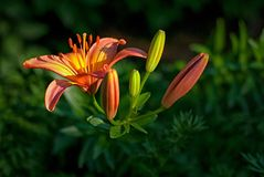 Tiger lily at dusk Royalty Free Stock Image
