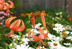 Tiger Lily e margherite Fotografie Stock Libere da Diritti