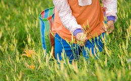 Tiger lily farm with farmer working Stock Image