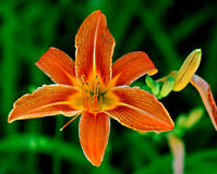 Tiger lily flower in bloom. Colorful orange tiger lily flower in bloom with leafy green background Stock Photo