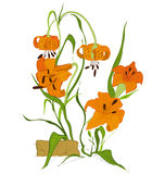 Tiger lily flower stock photo