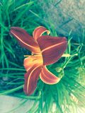 Tiger lily flower Stock Images