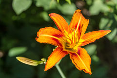 Tiger lily flower Royalty Free Stock Photo