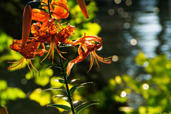 A Tiger Lily Flower by the River Royalty Free Stock Image