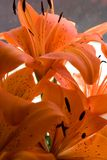 Tiger lily flowers stock image