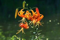 Tiger Lily Flowers flodstrand Royaltyfri Fotografi