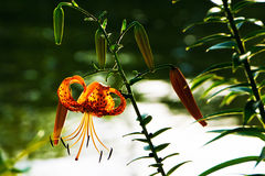 Tiger Lily Flowers on the River Shore Royalty Free Stock Images