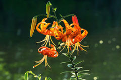 Tiger Lily Flowers, Riverside Royalty Free Stock Photography