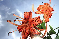 Tiger lily flowers with the sunburst showing in the background. Tiger lily flowers looking up at a bright blue sky with the sunburst peaking through at the Royalty Free Stock Photography
