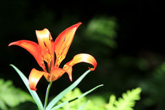 Tiger Lily Royalty Free Stock Images
