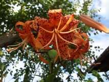 The tiger Lily high with large bright orange flowers Royalty Free Stock Image