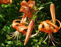 The tiger Lily high with large bright orange flowers Stock Images