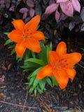 Tiger Lily imagens de stock