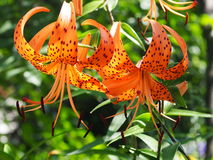 Tiger Lily Or Lilium Lancifolium Stock Photography