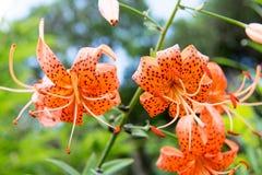 Tiger lily, Lilium lancifolium Royalty Free Stock Photography