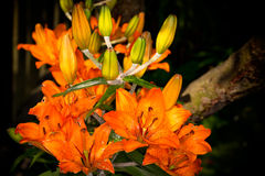 Tiger Lily Stock Images