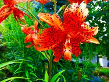 Tiger Lily (Lilium tigrinum) blossom. Beautiful flower of the Tiger Lily (Lilium Tigrinum Stock Images