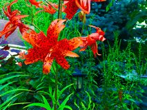 Tiger Lily (Lilium tigrinum) blossoms. Beautiful flowers of the Tiger Lily (Lilium Tigrinum Stock Photos