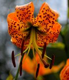 Tiger Lily. Mountain Tiger Lilly Stock Photography
