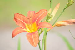 Tiger Lily orange Photographie stock libre de droits