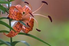 Tiger Lily Orange Bloom fotografering för bildbyråer
