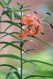 Tiger Lily Orange Bloom fotografía de archivo