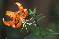 Tiger Lily Orange Bloom royalty free stock photo