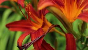 Tiger Lily Orange Dolly Over Close  fourmis rampant dans et hors de lui banque de vidéos