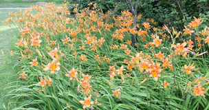 Tiger Lily. A patch of Tiger Lilies Royalty Free Stock Photos