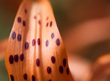Tiger lily petal closeup Royalty Free Stock Photography