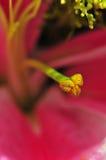 Tiger Lily Pistil royalty-vrije stock afbeelding