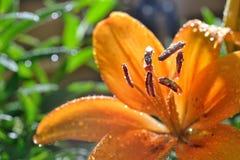Tiger Lily Pistil vermelho fotos de stock