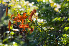 Tiger lily in the rain Royalty Free Stock Images